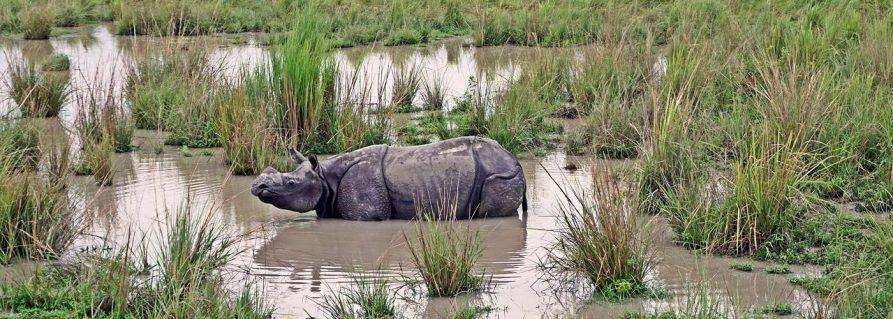 Der Kaziranga Nationalpark und das Indische Panzernashorn