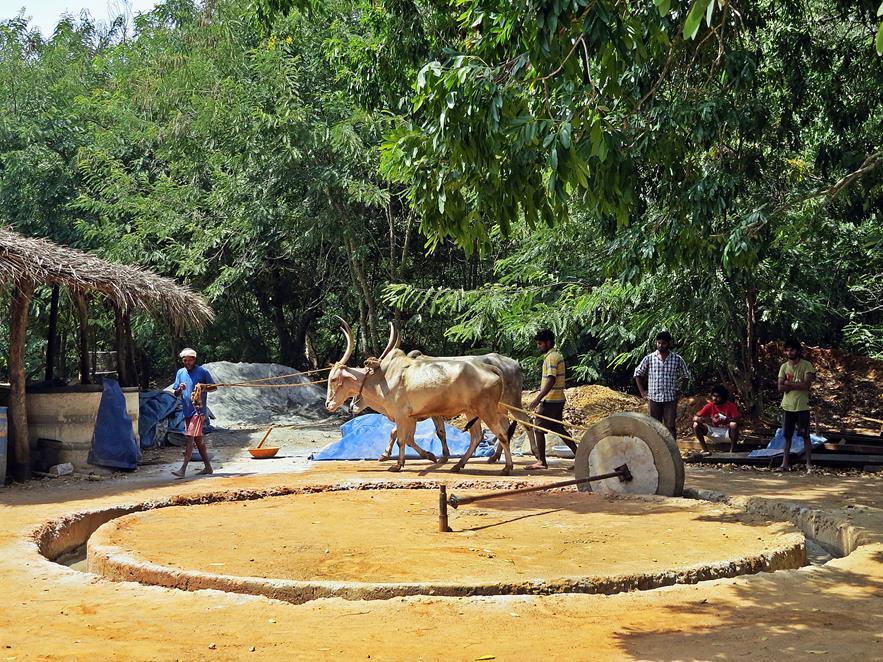 Bullen ziehen einen Mahlstein im Kreis, Auroville, Sacred Groves