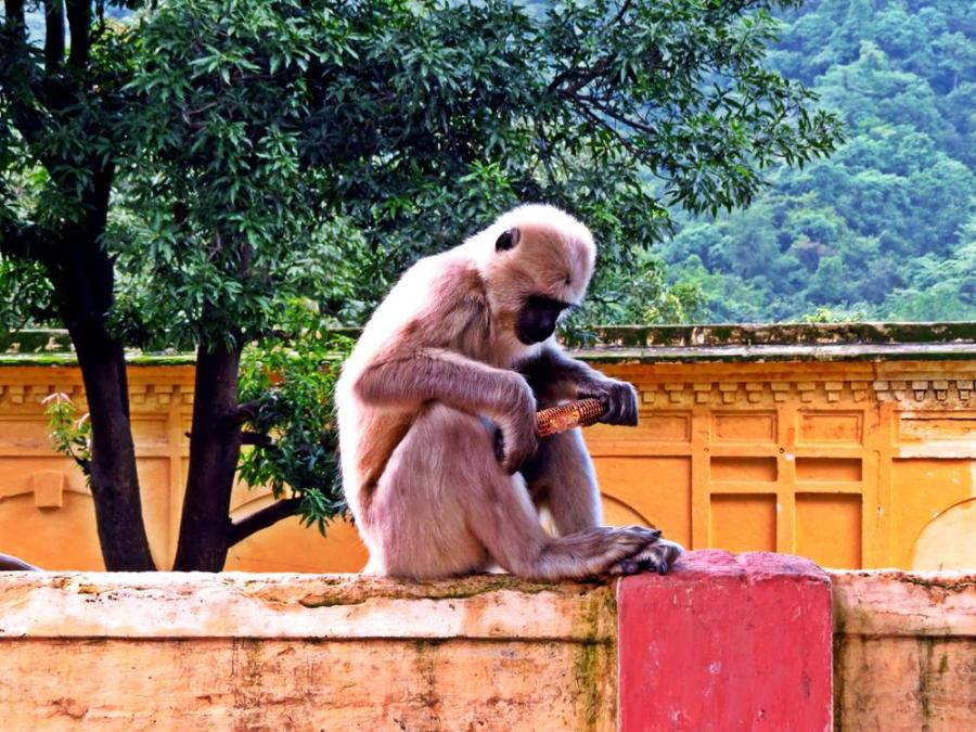 Hanuman langurs, Rishikesh, India