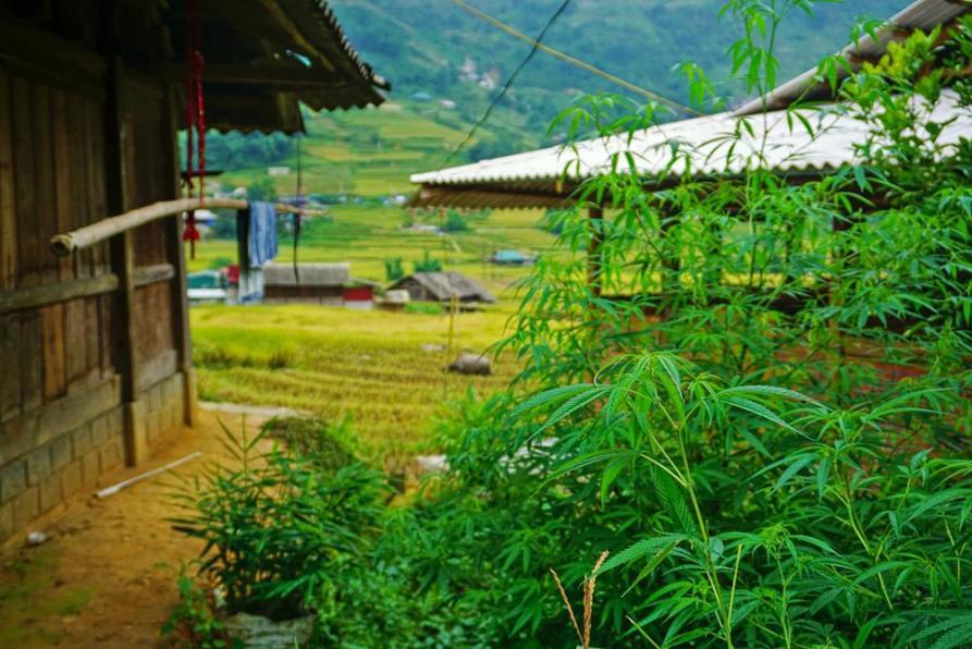 Hanfpflanzen im Dorf Lao Chai bei Sapa