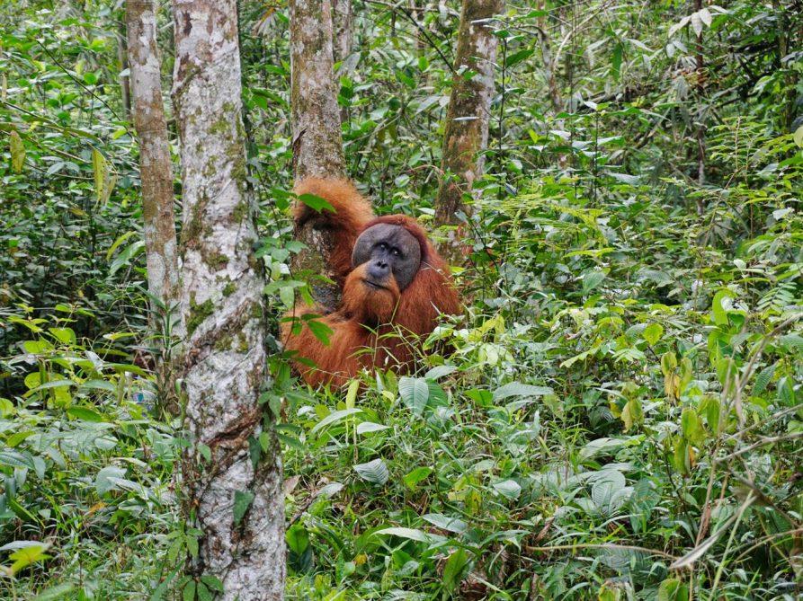 Orang-oetans in het Gunung Leuser National Park
