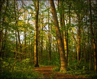 Early Evening in the Woods (4-22-12) Ginsburgh