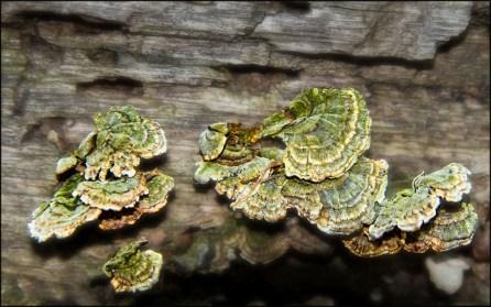 Mushrooms (4-22-12) Ginsburgh