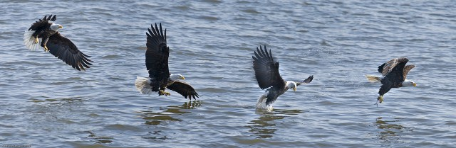 Mississippi River Eagle