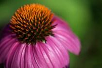 LisaSly_Echinacea