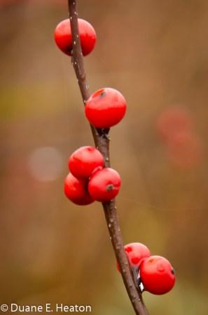 dheaton - Winterberry 1