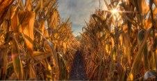 Danada Corn Row