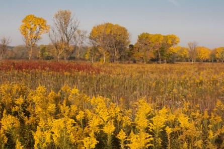 Danada Prairie Goldenrod and Golden Trees