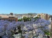 Jacaranda trees in Malaga