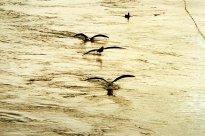 narty wodne w wykonaniu albatrosa siadajacego na wodzie