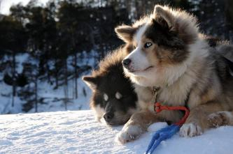 chiens de traîneaux, Laponie