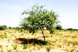 Pour faire un godet d'aquarelle, l'acacia du Sénégal. L'aquarelle, technique de peinture à connaitre absolument
