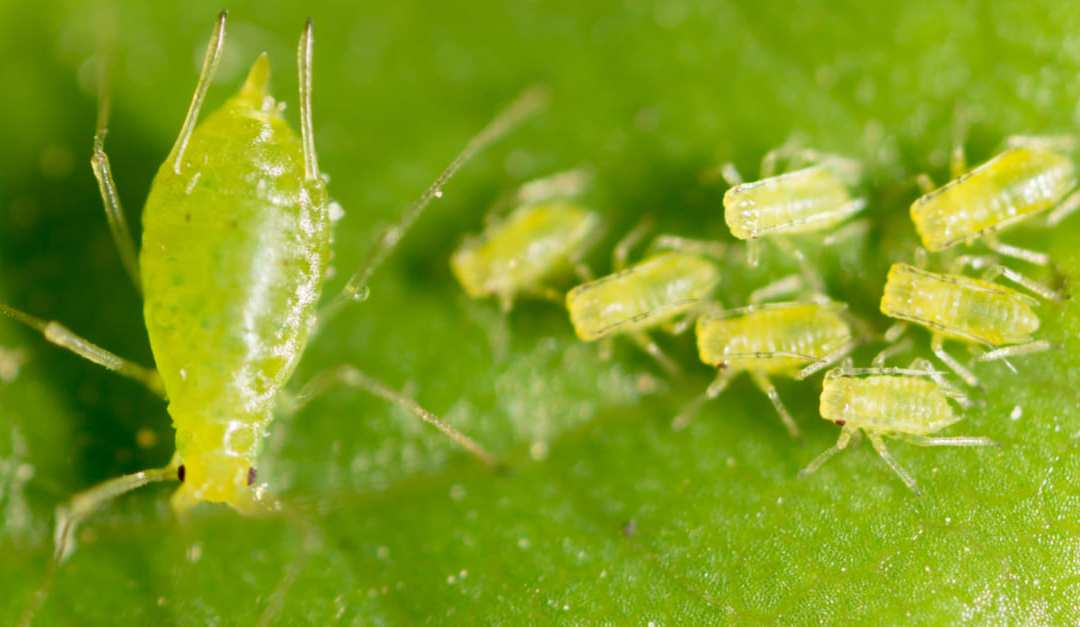 So You Think You Have Aphids?