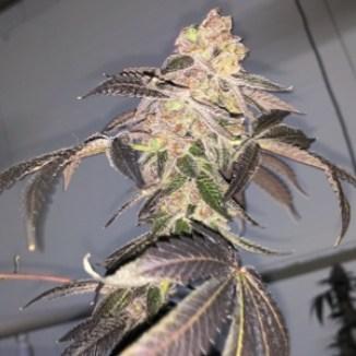 Growing Cannabis Seeds