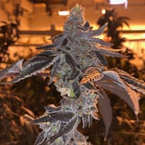 snak-cannabis-seeds