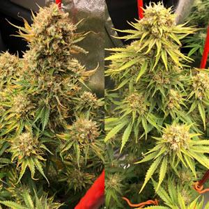 cherry bubblegum indica cannabis seeds