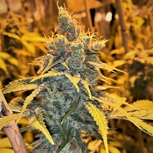 cherry white indica cannabis seeds