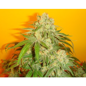 sonic fly indica cannabis seeds