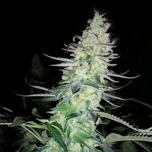 tsi fly indica-sativa cannabis seeds