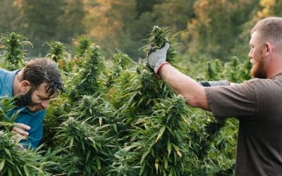 Growing Cannabis: Indoors, Outdoors or a Grow Tent