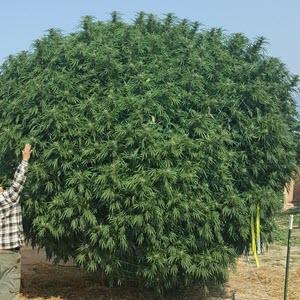 mountain dew baja blast indica cannabis seeds