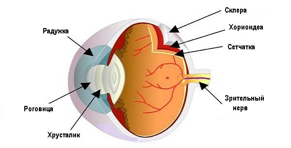 Склера глаза - строение и функции, диагностика и ...
