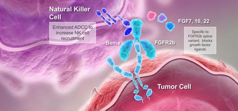 bemarituzumab moa 01 - Бемаритузумаб: прорыв в лечении рака желудка