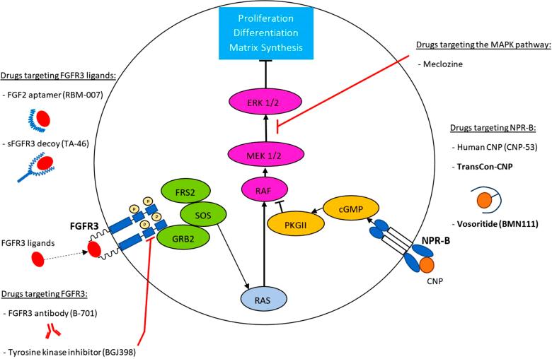 Восоритид: первое лекарство против карликовости