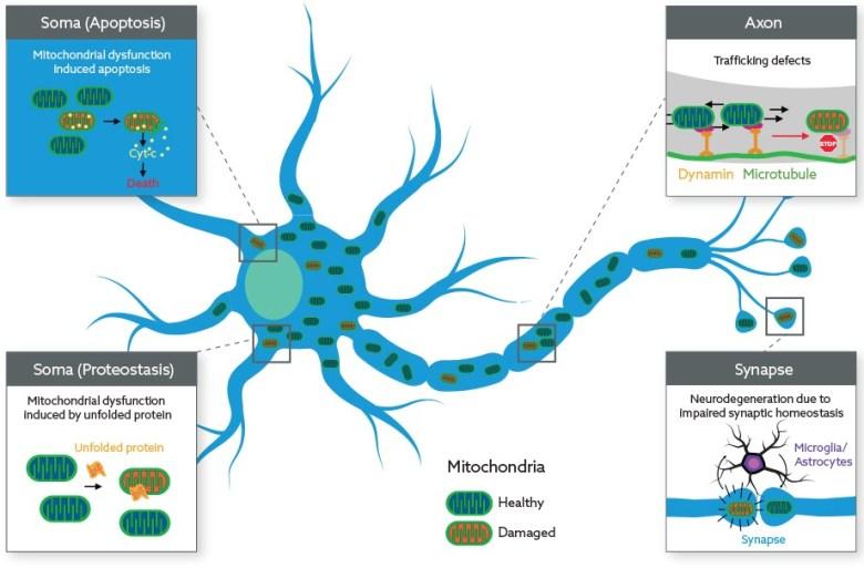 Mitokinin: восстановление митохондриальных функций для лечения нейродегенеративных заболеваний