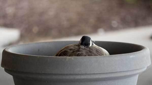 Когда начинают нестись домашние гуси: сколько яиц несет ...