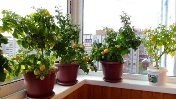 Помидоры черри: описание с фото, сорта, выращивание, уход ...