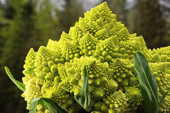 Выращивание капусты романеско: описание с фото ...