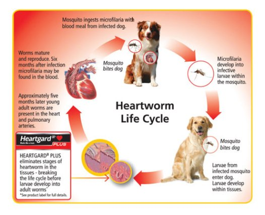 life cycle of heartworm disease on dogs