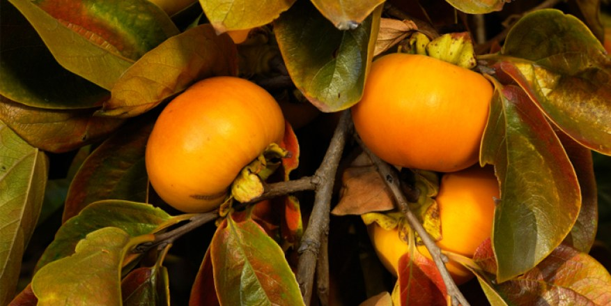 persimmon-700-web