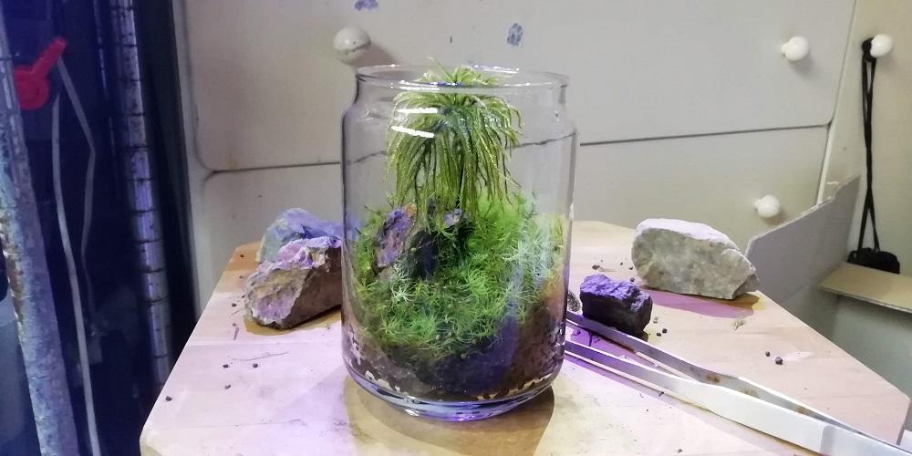 コウヤノマンネングサとタマゴケのグラス苔リウム