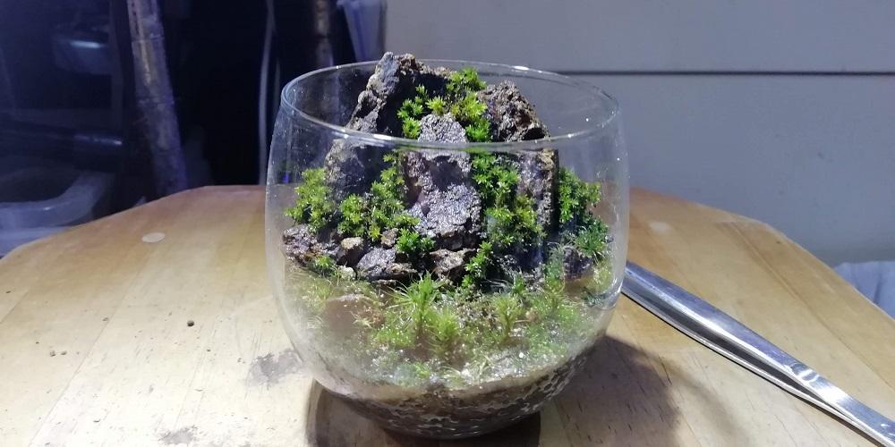 ホソウリゴケのグラスコケリウム 正面。