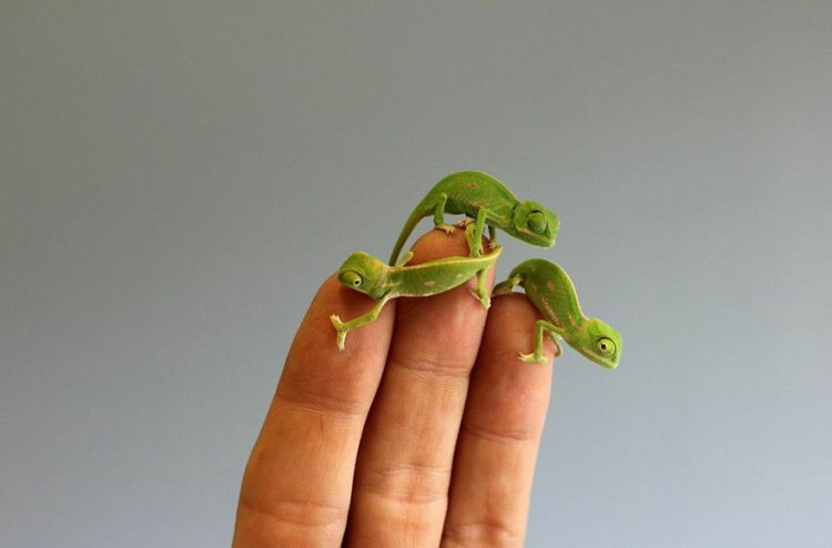 cute-baby-chameleons-hatch-taronga-zoo-sydney-8