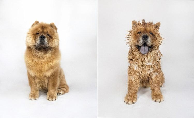 dry_dog_wet_dog_photo_series_Serena_hodson_03