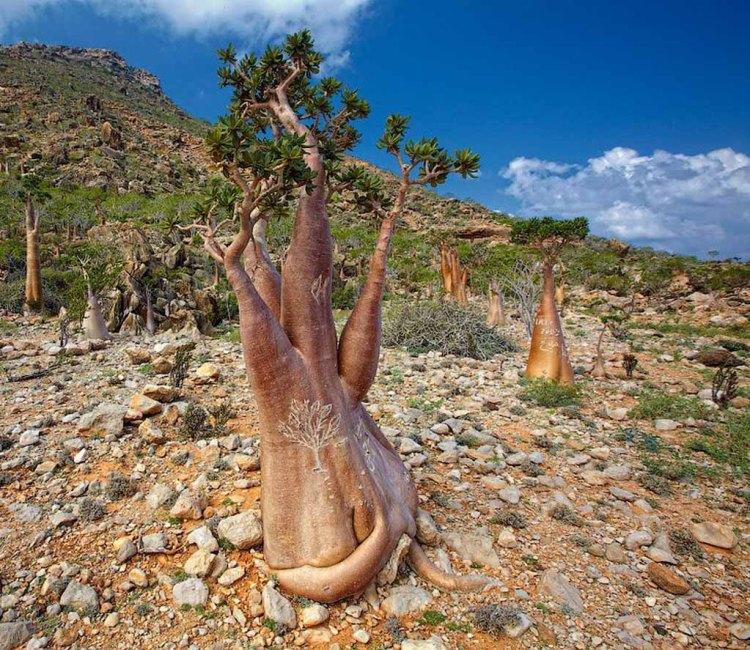 socotra-trees2