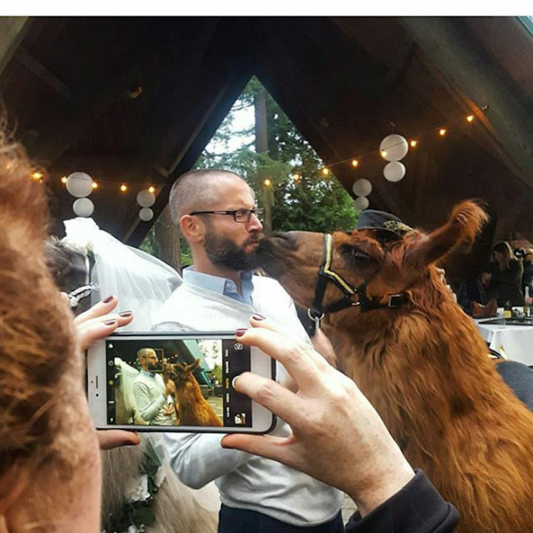 wedding-llamas-mtn-peaks-therapy-llamas-and-alpacas-13