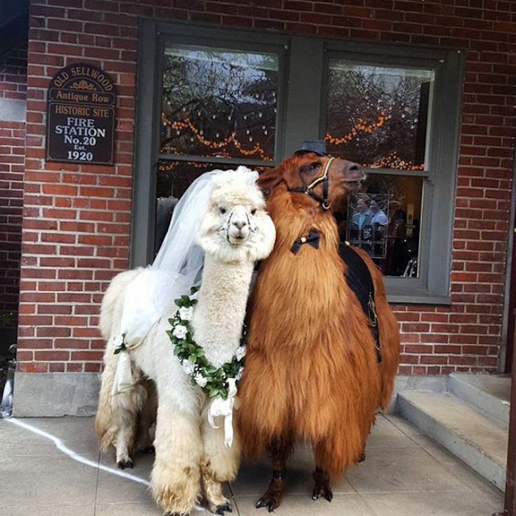 wedding-llamas-mtn-peaks-therapy-llamas-and-alpacas-2