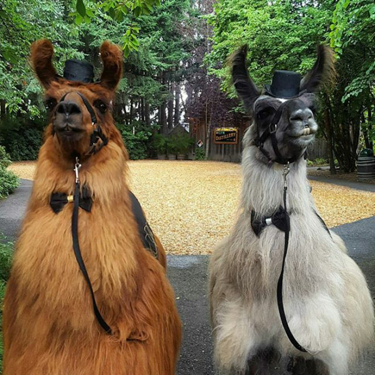 wedding-llamas-mtn-peaks-therapy-llamas-and-alpacas-4