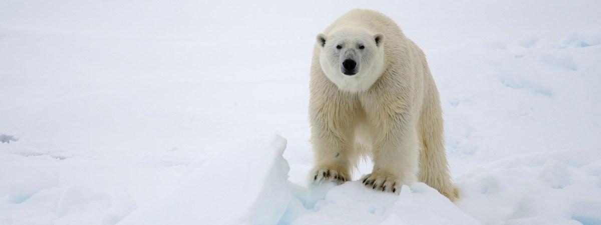 polar bear moss and fog