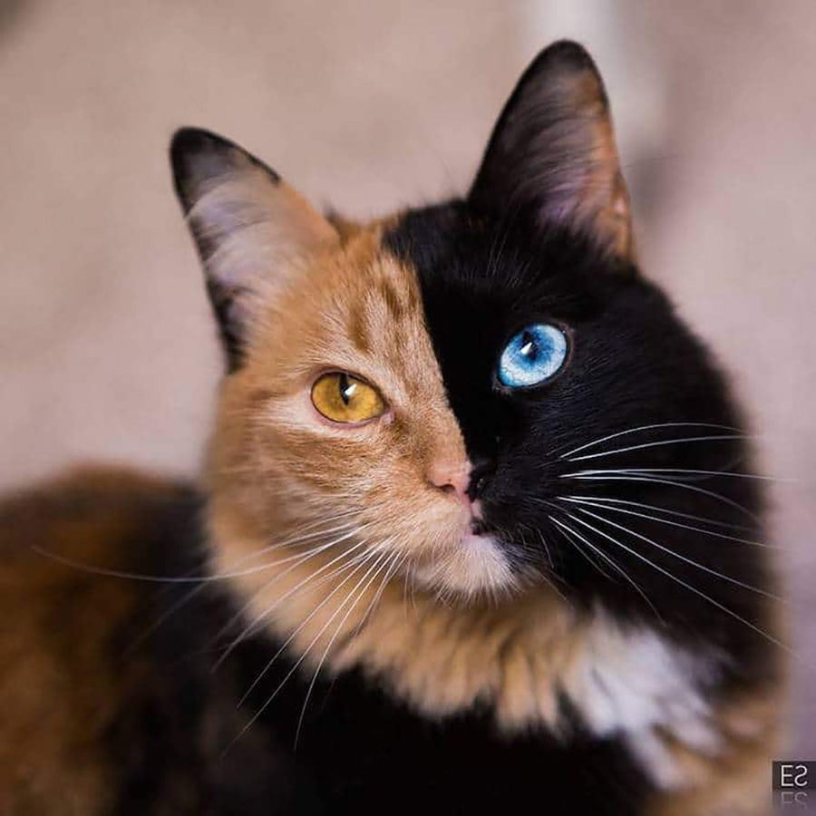 Quimera, The Two Faced Cat