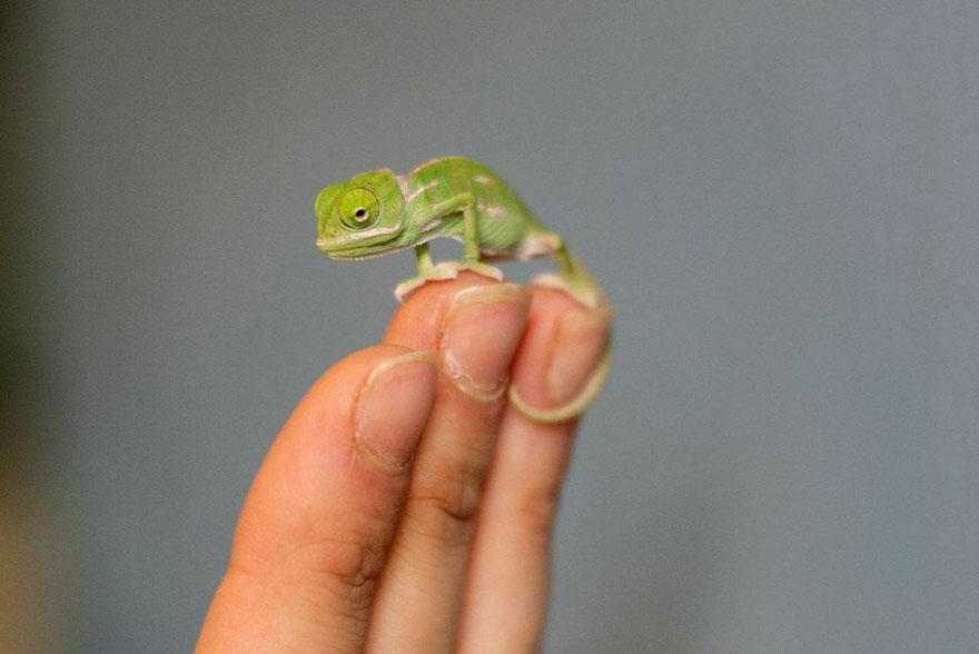 Crazy Cute Chameleons