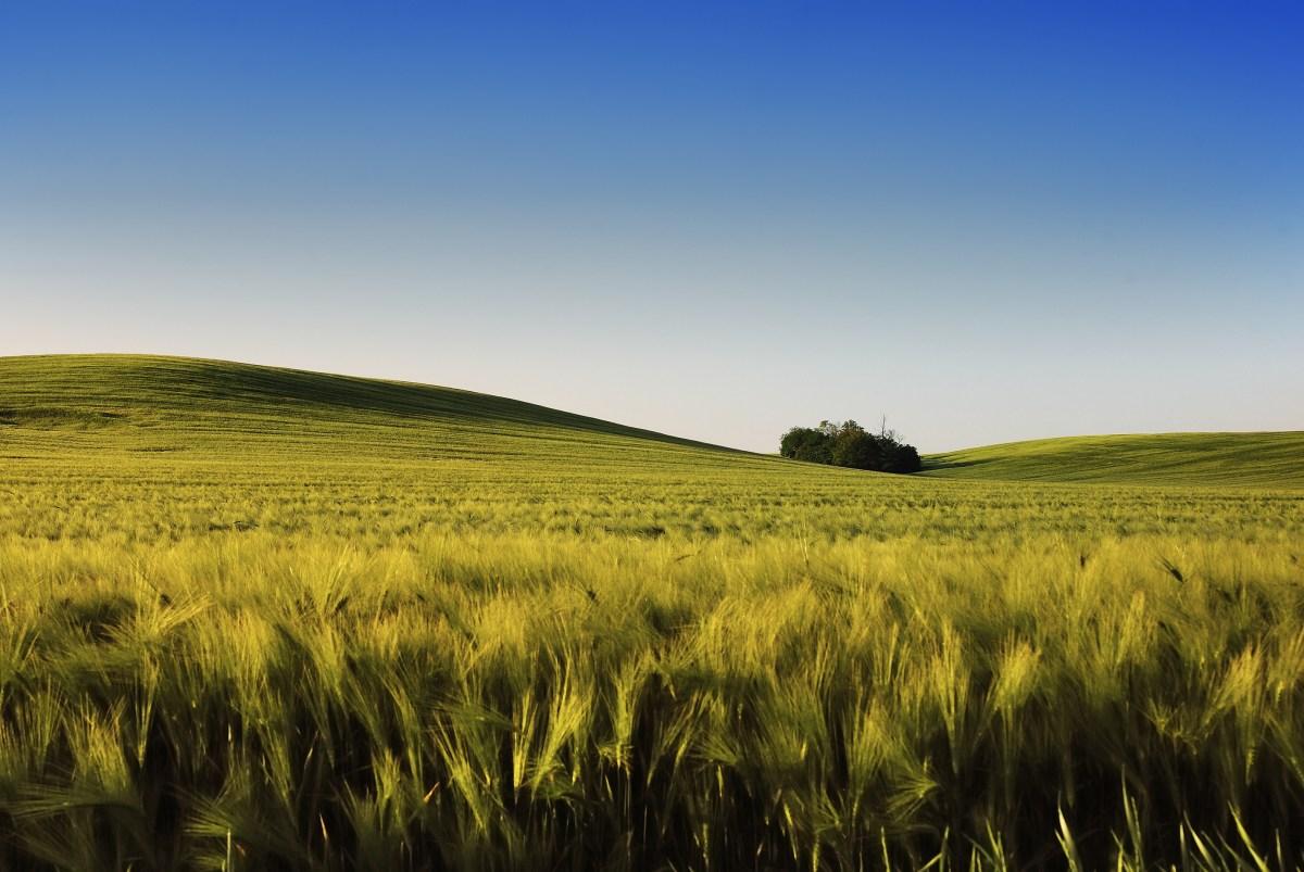 Spring Wheatfield