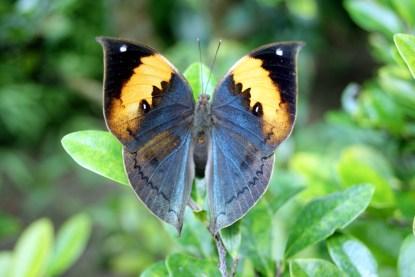 Kallima_inachus_at_Gunma_Insect_World
