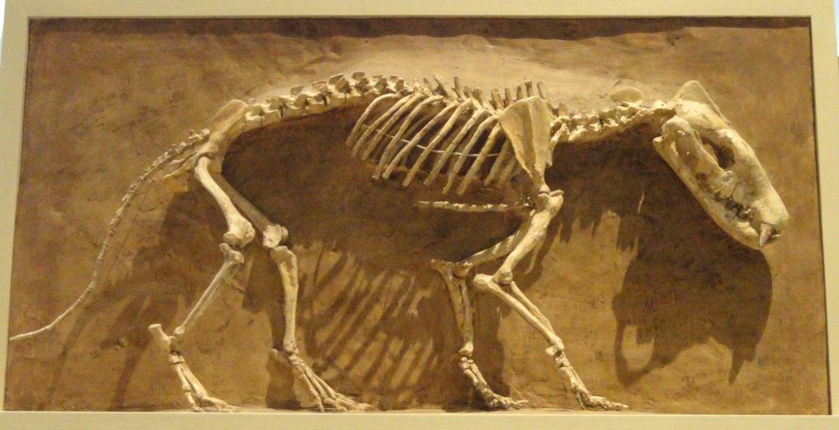 6640px-Hyaenodon_horridus,_Niobrara_County,_Wyoming,_USA,_Late_Oligocene_-_Royal_Ontario_Museum_-_DSC00114