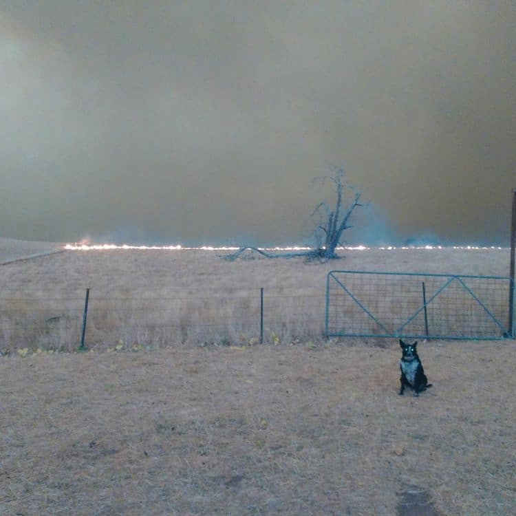 patsy-border-collie-australia-wildfires-2