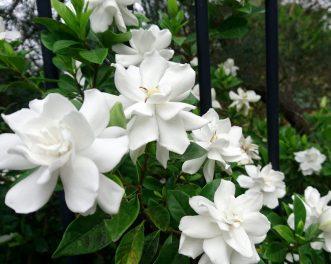 Gardenias Fence